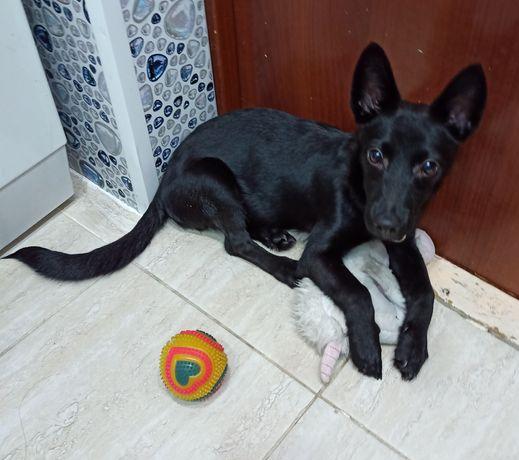 Порода-звонок, маленькая собачка, 4 месяца щенку, мальчик, зовут Дымок