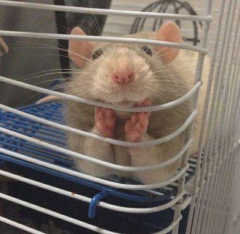 Молодые крыски декоративные
