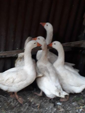 Срочно продам породистых гусей или обменяю на несушек