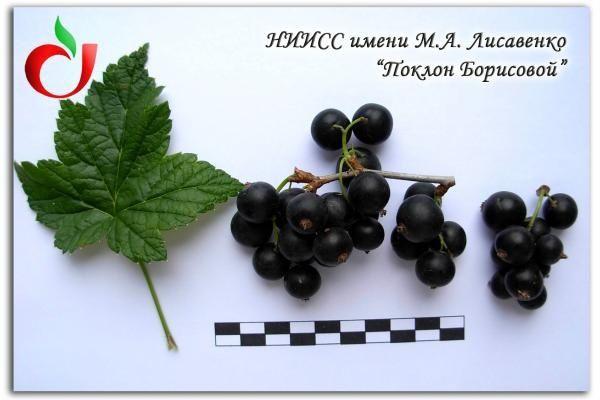 Саженцы крупноплодной черной и красной смородины