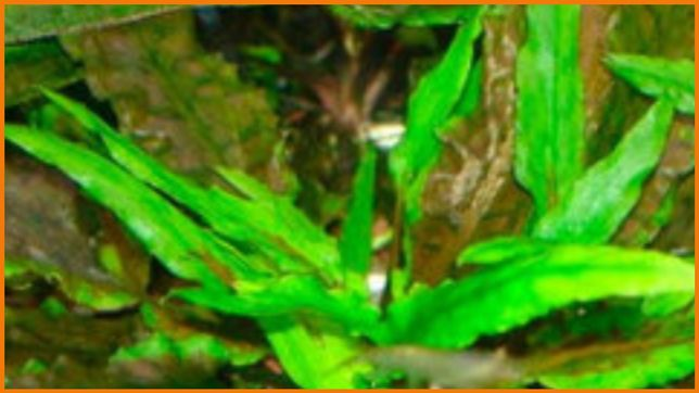 Продам аквариумное растение криптокарина вендта
