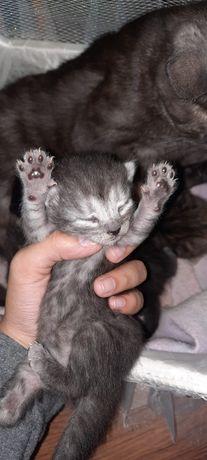Продаются котята родословные шотландские прямоухие