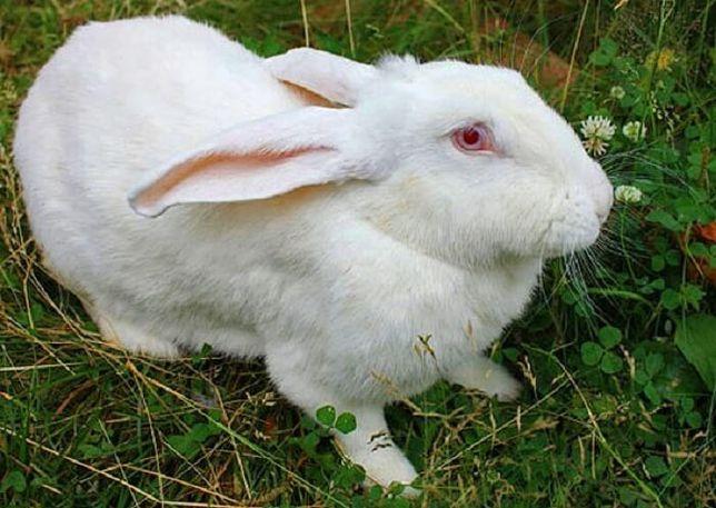Кролики взрослые