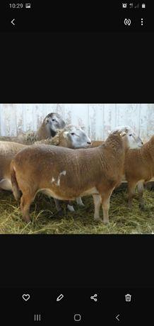 Продам баранов, баран, кой, овец.