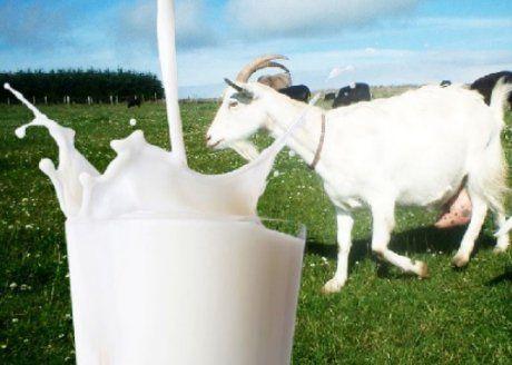 Lapte de capra pur,clasa superioara 100% natural proaspat muls