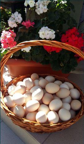 Инкубационное яйцо Кучинской Юбилейной и Адлеровской Серебристой