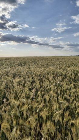 Vând grâu (anul 2021)