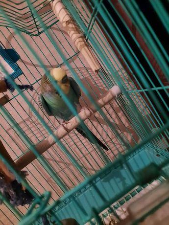 продам Папугай птичка