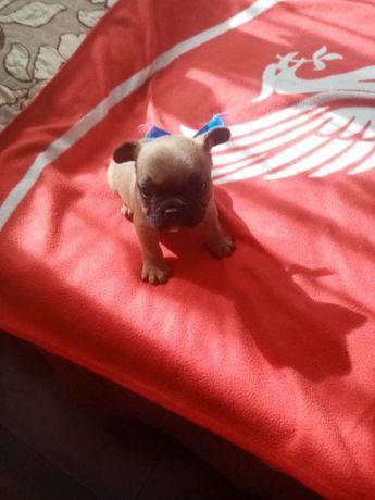 Bulldog francez fetita si baiat !!