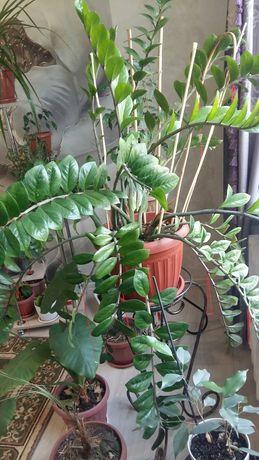 Замиокулькас-долларовое дерево