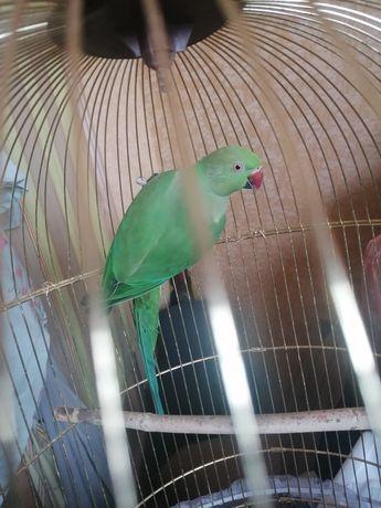 Попугай ожереловый