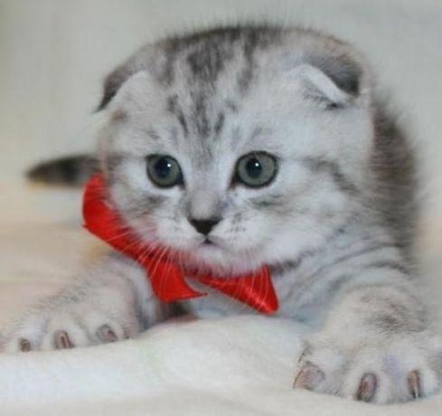 Ультра шикарнейшие породистые котята скоттиш-фолд
