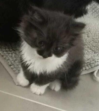 Котенок от матери мышеловки.