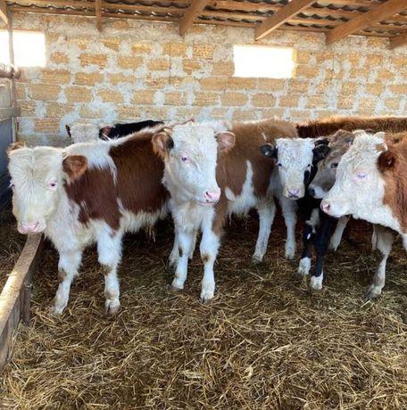 Телята коровы бычки ангус голштин герефорд сементал бычёк