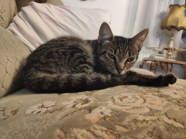 Ofer spre adoptie pui pisica 4 luni, cuminte, sociabila, si iubitoare