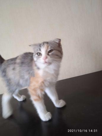 Продам вислоухая кошку