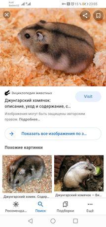 Хомячок джунгарский
