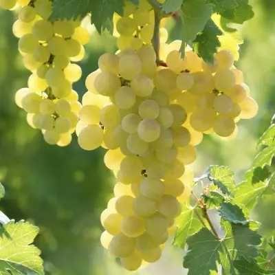 vand struguri vin