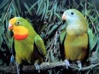 Papagal Barabant