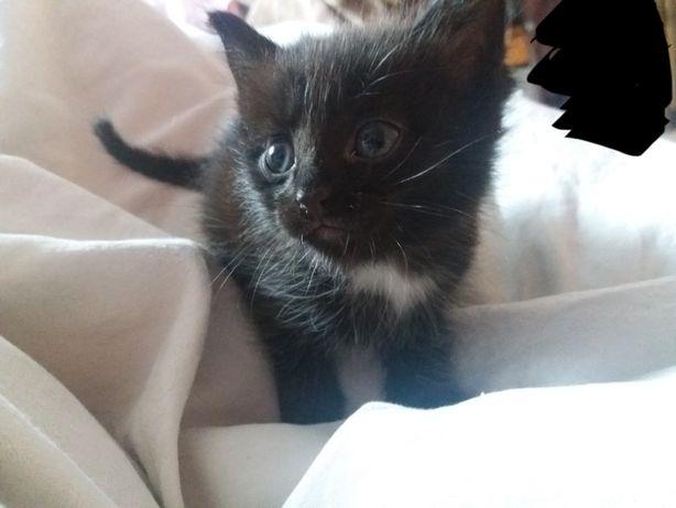 Отдам срочно котенка (мальчик 1.5 месяц)