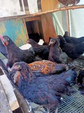 Срочно продам цыплят