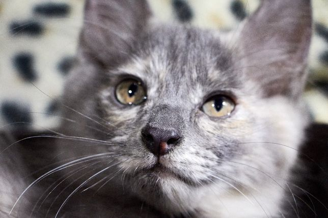 Кошечка- красавица, 2,5 мес, от евро-нибелунга Босса, гипоаллергенна.