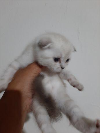 Шотландский вислоухий котенок мальчик дата рождение 18.05.21