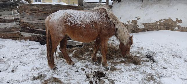 Продам лошадь кабылу,  Малдануға буаз бие сатамын жылқы