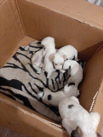 Дарю милых  щенков
