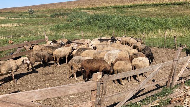 Vând 50 de oi reforme