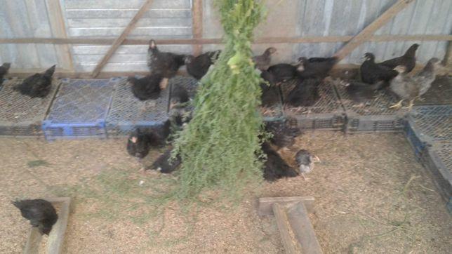 Молодки брама, кучинские, доминант, леггорн, возраст 2,5 месяца.