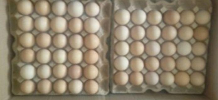 инкубационные яйца кобб 500