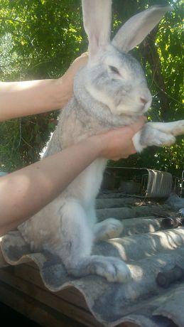 Срочно,срочно продам крола