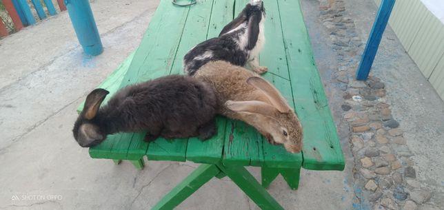 Кролики 2мес