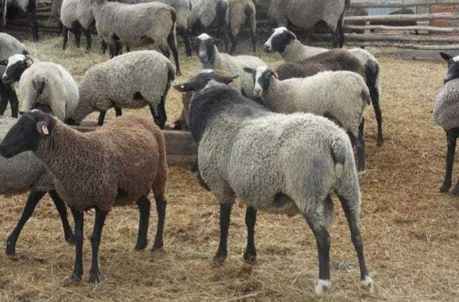 Ягнята овцы бараны МРС