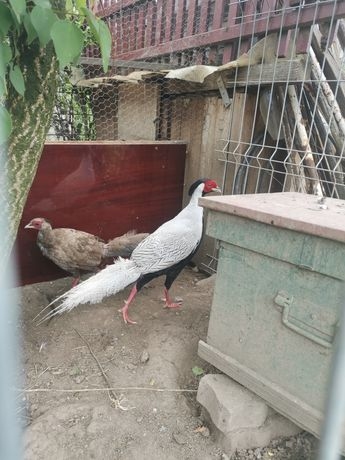 Vând fazani arginti