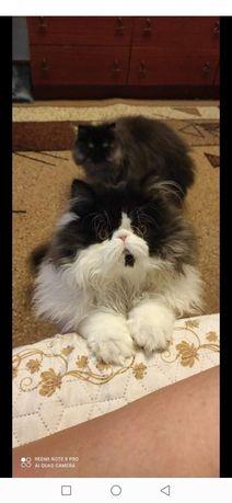 Питомник персидских и экзотических кошек Pushland