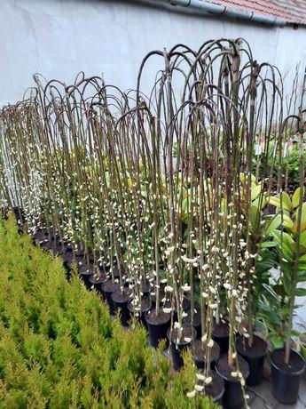 Salix Caprea 140 160 cm la ghiveci