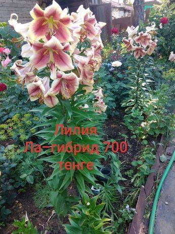 Продам саженцы, корневище и луковицы многолетних цветов