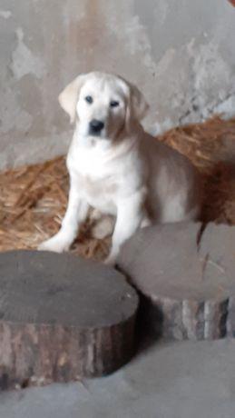Labrador Retrevier