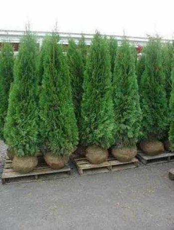 Vand diverse plante ornamentale pentru o gradina de vis