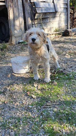 Vând câine fox terierr de vânătoare, vârsta 3 ani