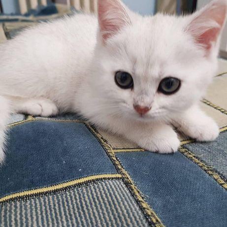 Продам котёнка британка