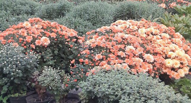 Продам хризантему