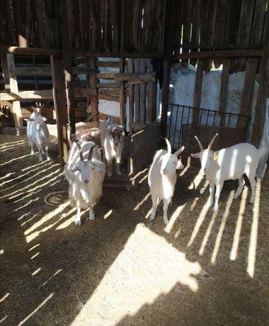 Продаю одного козла и  четыре козы. Оптом и по одной