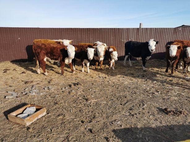 Продается КРС 2годовалые кастрат быки