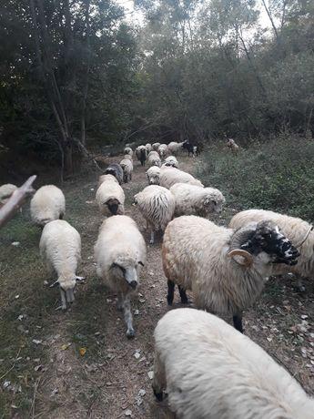 Vand 50 de oi si 25 de capre