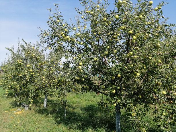 Яблоки с огорода