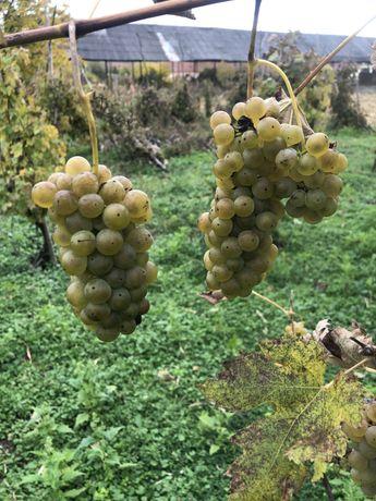 Vand struguri pentru vin soiuri nobile