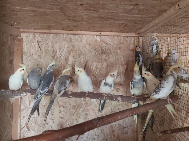 Papagali  nimfe pui și maturi